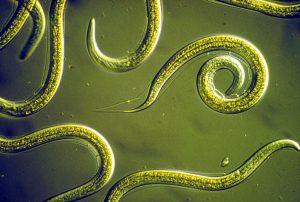 Control de nematodos